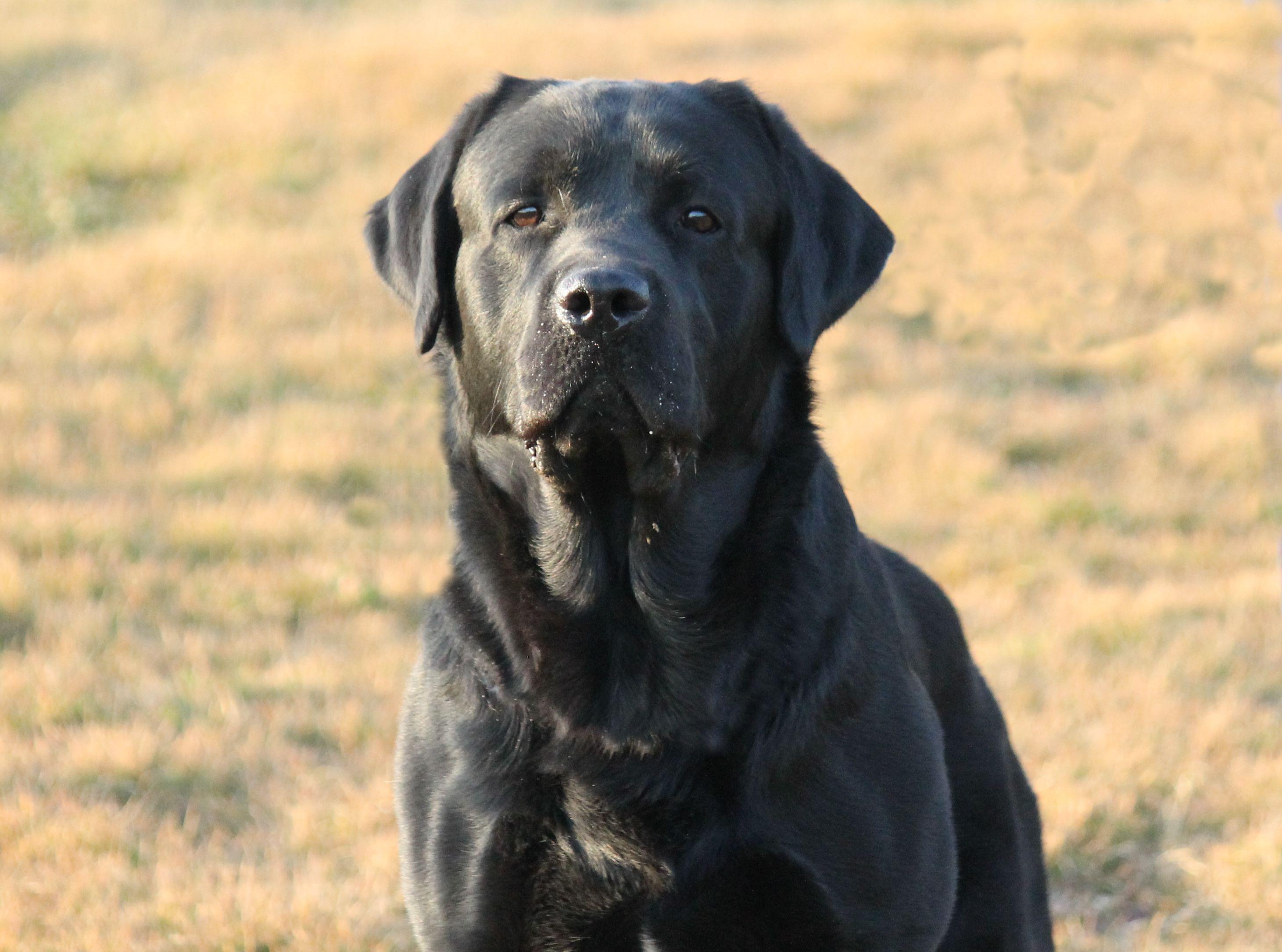 Vi presento il Labrador Retriever